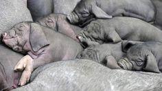 Piggie pile