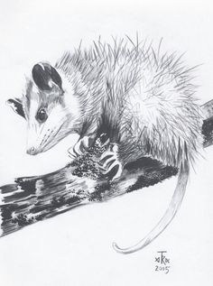 Virginia Opossum by Arabidopsis
