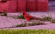 Male Cardinals are sO beautiful :-) No birdseed goes to waste at our house. Tammy Taylor-Kosiba's Photography 2013