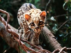 I Think It's Time We Talk About The Margay