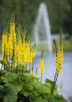 Lapinnauhus  Savensekainen multamaa takaa parhaan kasvun. Lehdet peittävät nopeasti kasvupaikkansa. Kukat vetävät puoleensa perhosia. Lehdet noin metrin korkuiset, kukkavana parimetrinen. Kukkii heinäkuun puolivälin jälkeen.