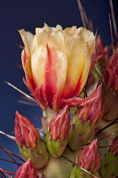 ✯ Prickly Pear Flower