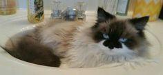 Ragdoll Cat Saxton in sink