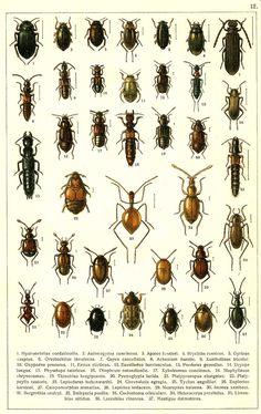 1. Hydronebrius cordaticollis 2. Aulonogyrus concinnus 3. Apator kessleri 4. Brychius rossicus 5. Gyrinus caspius 6. Orectochilus involvens 7. Cupes cancellatus 8. Achenium humile 9. Xantholinus tricolor 10. Oxyporus procerus 11. Eretes sticticus 12. Euesthetus laeviusculus 13. Paederus gemellus 14. Dryops longus 15. Physetops tataricus 16. Olophrum rotundicolle 17. Xylodromus concinnus 18. Staphylinus chrysocomus 19. Thinobius longipennis 20. Pycnoglypta lurida 21. Platyprosopus elongatus
