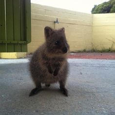 A quokka in the yard... Not ideal. If this happens when you're next staying on #rottnestisland please leave your gate open until it decides to leave. Don't pick it up don't feed it and remember it is a wild animal - NOT a pet. Quokkas are super cute and very friendly but we shouldn't take advantage of it. #fortheloveofquokkas #rottnest #quokka #quokkas #rotto #rottnestisland #quokkaselfie #stopthequokkaselfie #donoharm #lovethyquokka #letthemlivenaturally #animalcare #australia #wa…