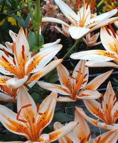 Asiatic Lily Orange Electric - Asiatic Hybrid - Hardy Lilies - Flower Bulbs Index