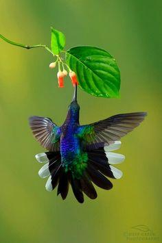 .Magnifique colibri