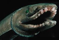 Image result for frilled shark