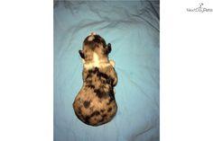 Miniature Australian Shepherd puppy for sale near Chattanooga, Tennessee | db83edd7-f451
