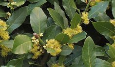 The medicinal application, health benefits, side effects, active substance and therapeutic uses of the herb bay laurel (Laurus nobilis) in herbal medicine