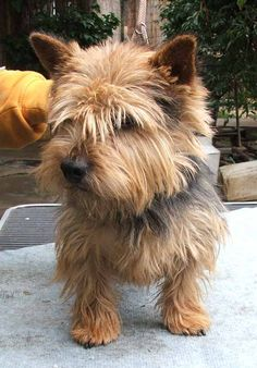 Norwich Terrier: another pick of mine
