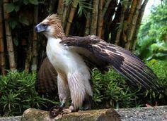 https://flic.kr/p/zGSHvQ | Mindanao the Philippine Eagle | Philippine Eagle Center, Brgy. Malagos, Baguio District, Davao City, Philippines