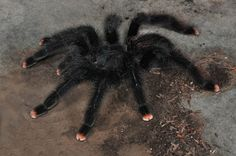 Pink Toe Tarantulas for sale at Voracious Reptiles