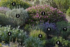 1 : Cistus x purpureus 2 : Salvia leucophylla 3 : Phlomis 'Le Sud' 4 : Salvia canariensis 5 : Cistus heterophyllus 6 : Salvia fruticosa 7 : Perovskia 'Blue Spire' 8 : Salvia mellifera