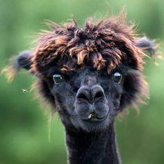 Alpackorna måste vara djurrikets hipsters