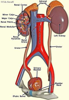 model of urinary system labeled Gross Anatomy, Human Body Anatomy, Human Anatomy And Physiology, Muscle Anatomy, Kidney Anatomy, Medical Anatomy, Medical Facts, Medical Science, Nursing School Notes