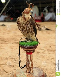A falcon sits on its stand at a desert camp in Qatar, Arabia, while (out of focus) Arabs in Gulf robes relax in the traditional tent behind. >>> Read more info by clicking the link on the image. #Outdoor