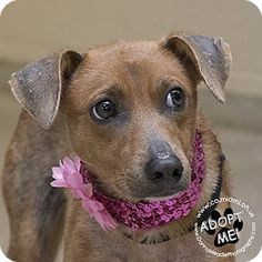 ADOPTED! :) URGENT! I am at a full, high kill shelter in Troy, OH - Miniature Pinscher Mix. Meet Rosie, a dog for adoption. http://www.adoptapet.com/pet/16839738-troy-ohio-miniature-pinscher-mix