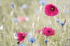 Tanja Riedel - Pastelle Mohnblüten Feld  in Fantasie  Farben