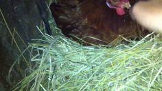 obilazak gnijezda pred spavanje - noc Chicken Life