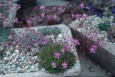 TALINUM spinescens