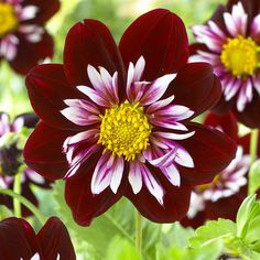 """Dahlia 'Night Butterfly' Novelty Dahlia - Striking colour combination is sure to stand out in the garden. Height 36""""."""