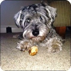 Shreveport, LA - Standard Schnauzer. Meet Arthur a Dog for Adoption.