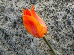 tulip and stone by rosanne maccormick-keen, via Flickr