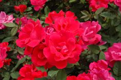 I love knockout roses. I plan to get two more bushes for next year. They bloom all summer and fall!