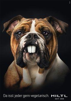Bulldog by Haus Hiltl 2011 Switzerland, Bulldogs, Teeth, Advertising, Animals, Vegetarian Restaurants, Advertising Campaign, Haus, Animales