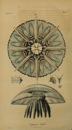 Plate LXX. Cassiopea Anglica. _Nova acta physico-medica, Vol....