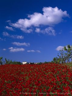 Red poppies in Tuscany as we traveled by train.  Italy summer 96. ~JBT