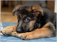 German shepherd puppies know when they are doing something they shouldn't!