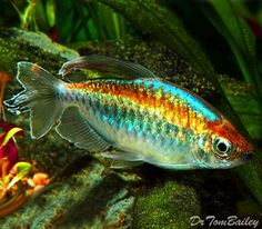 Congo Tetra                                                       … #TropicalFishFreshwater