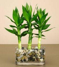 to Grow Bamboo in Pots Growing Bamboo in a Pot thumbnailGrowing Bamboo in a Pot thumbnail Bonsai Plants, Bonsai Garden, Succulents Garden, Garden Plants, Planting Flowers, Indoor Water Garden, Indoor Plants, House Plants Decor, Plant Decor