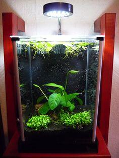Mes grenouillettes prospèrent  Les plantes installées dans mon nano aquarium Fluval Spec ont vite pris leurs aises, en particulier les grenouillettes (Limnobium laevigatum).  http://www.pariscotejardin.fr/2013/02/mes-grenouillettes-prosperent/