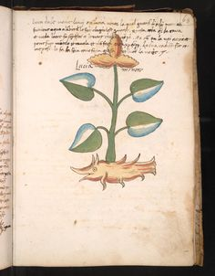 """""""Lucia magiore"""" - Manuscript Number: [Herbal containing 192 drawings of plants], in Italian and Latin. Manuscript on paper. Voynich Manuscript, Historia Natural, 1 Real, Plant Drawing, Botanical Drawings, Plant Illustration, Medieval Art, Art Reference, Folk Art"""