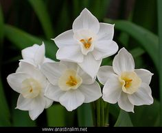 Narcissus - December Birth Flower Some months have more than one ...