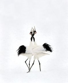 Audubon Magazine Photography Awards: Japanese Cranes (see winners)