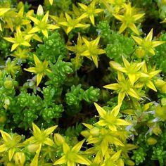 Sedum acre - Orpin jaune - Poivre des murailles