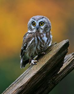Saw Whet Owl   Flickr - Photo Sharing!