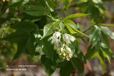 Staphylea colchica = pimpernoot, bladverliezende opgaande struik of kleine boom 3 – 4 m. Bloeit wit in mei. Heeft opvallende blazen/ doosvruchten.