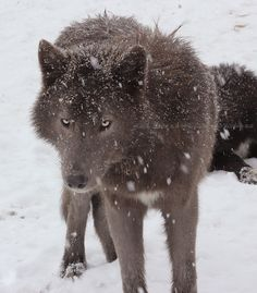 This is Azure! From Northern Woods Wolfdogs. His sire was used as a founder for the blue bay German shepherd breed. He is a blue wolfdog. My future puppy's great grandfather 💙 Beautiful Wolves, Beautiful Dogs, Animals Beautiful, Wolf Photos, Wolf Pictures, Pet Dogs, Dogs And Puppies, Doggies, Wolf Hybrid Dogs
