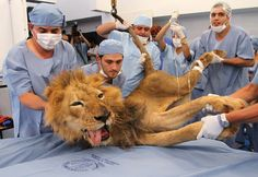 Male lion Tyson receives dental treatment at a veterinary clinic in Medellin on 15 September 2011. Tyson is a 20-year-old lion living at Santafe Zoo.