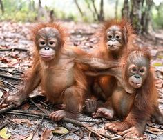 "natgeowild.hd: "". Baby orangutans which had previously suffered from respiratory problems from the forest fires playing at a rehabilitation centre in Central #Kalimantan in an image released by the #Borneo Orangutan Survival Foundation (BOSF) on 26 October. Photograph: INDRAYANA/AFP/Getty Images. #orangutans #BabyOrangutans #wildlife #BOSF"""