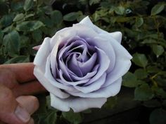 'Blue Moon' Climber Rose