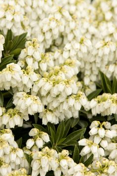 Prelude Lily Of The Valley is a useful dwarf selection that flowers later than other varieties. Lovely clusters of pure white flowers on short stalks shine against rich, dark green leaves on a densely branched globe shaped form. New foliage emerges with a pinkish tint. Evergreen. Zones 5-8
