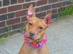 ~~TO BE DESTROYED 8/7/14~~ Brooklyn Center -P  My name is MI LADY. My Animal ID # is A1007628. I am a spayed female tan and white pit bull mix. The shelter thinks I am about 2 YEARS old.  I came in the shelter as a RETURN on 07/30/2014 from NY 11223, owner surrender reason stated was NO TIME.