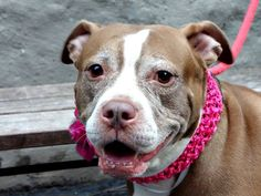 TO BE DESTROYED 1/21/14  Manhattan Center -P   My name is NINA. My Animal ID # is A0989474.  I am a spayed female brown and white pit bull mix. The shelter thinks I am about 6 YEARS old.   I came in the shelter as a OWNER SUR on 01/13/2014