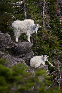 Mountain Goats ~ you could see these up close along the road near Baniff, BC, Canada